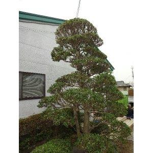 画像3: モチの木(剪定)