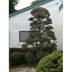 画像2: モチの木(剪定)