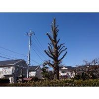 銀杏の木(枝落とし剪定)