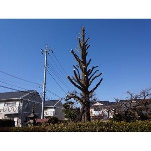 画像1: 銀杏の木(枝落とし剪定)