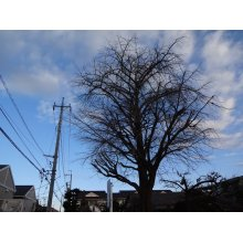 他の写真1: 銀杏の木(枝落とし剪定)